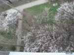 Абрикосы под окнами 2